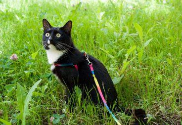 cómo acostumbrar a un gato al arnés y la correa