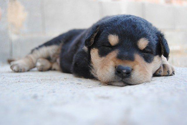 cuánto duerme un cachorro