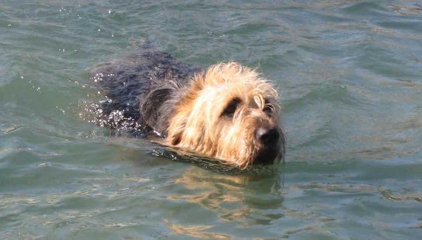 cuidados del perro otterhound