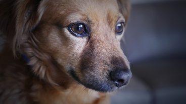 enfermedades mortales en perros