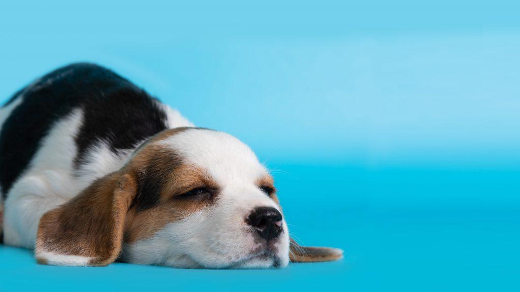 hábitos de sueño en cachorros
