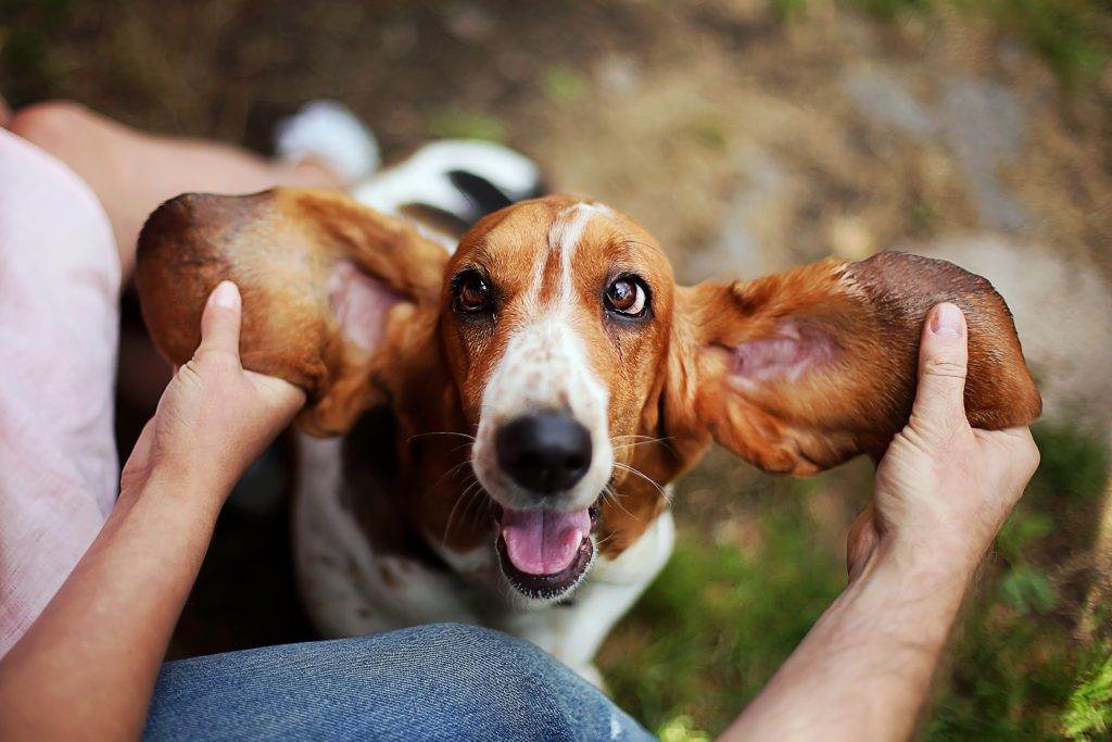 observa las orejas de tu perro