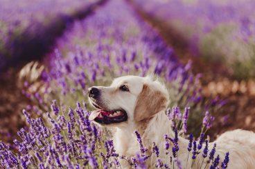 Olor natural de los perros e instinto de protección