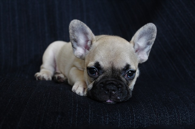 parvovirus canino enfermedades mortales en perros