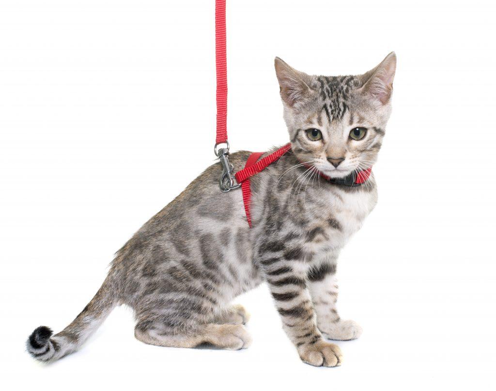 pasos para acostumbrar a un gato al arnés y la correa