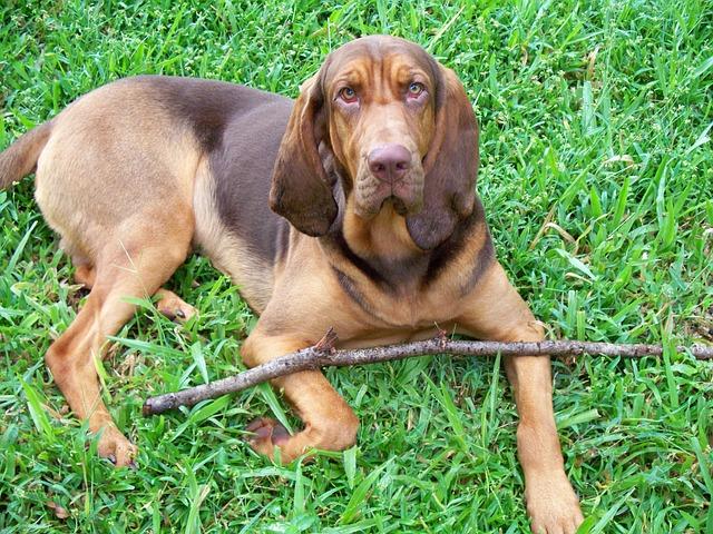 perro bloodhound o san huberto