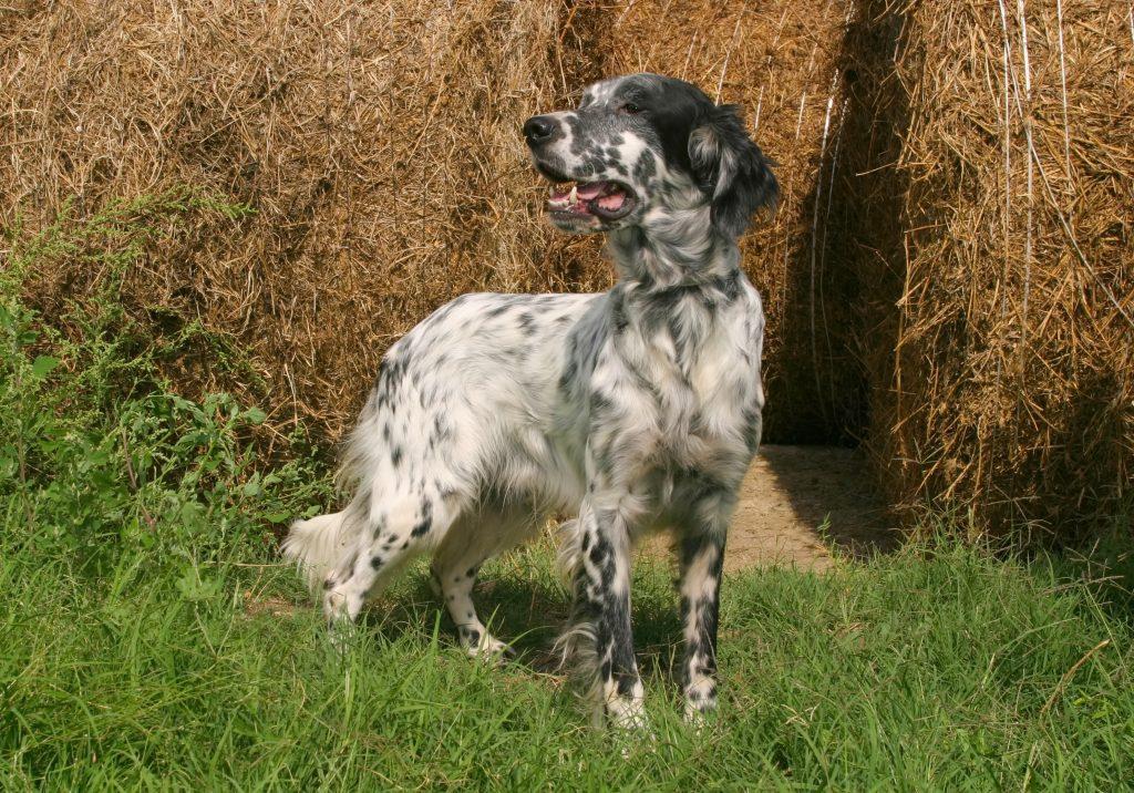 problemas frecuentes del perro setter inglés
