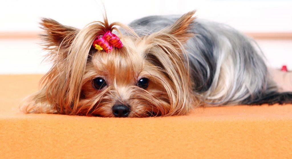 qué es un embarazo psicológico en mascotas