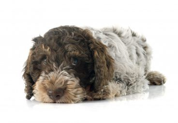 raza de perro de agua portugués