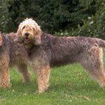Raza de perro Otterhound