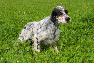 Raza de perro Setter inglés