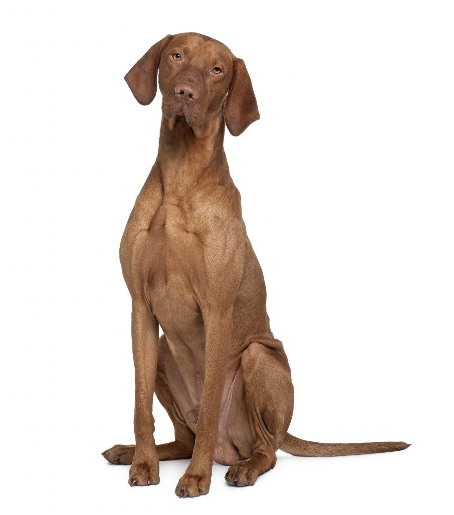 Razas de perros de orejas largas el Braco hungaro o vizla