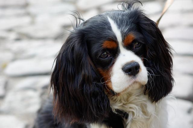 Razas de perros de orejas largas el Cavalerier King Charles Spaniel