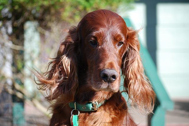 setter irlandes razas de perros de orejas largas
