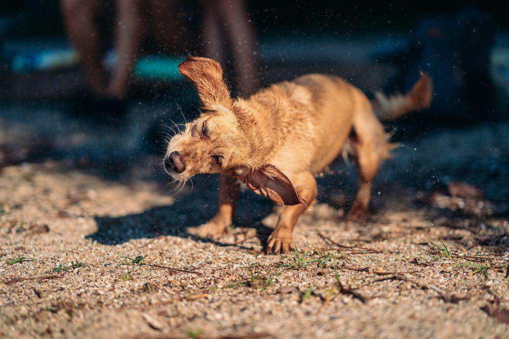 síntomas de problemas en las orejas largas de un perro