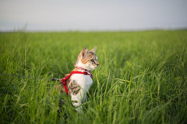 tips sobre cómo acostumbrar a un gato al arnés y la correa