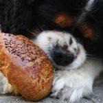 Le puedo dar pan a mi perro o es perjudicial para él