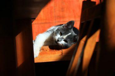Leishmaniasis en gatos qué es y síntomas