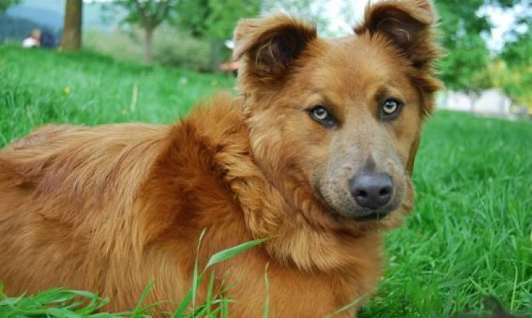 Perro pastor vasco
