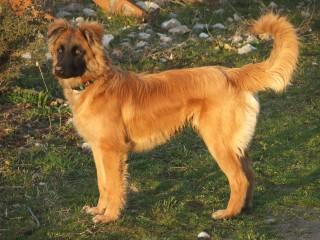 Raza de perro pastor vasco