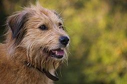Raza de perro pastor vasco variedad iletsua