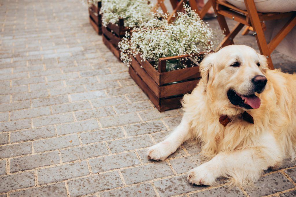 tu perro puede recibir a los invitados de tu boda