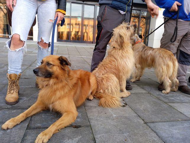 Variedades de perro pastor vasco