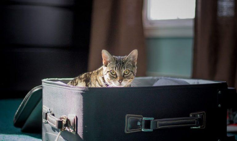 Viajar con gatos en avión