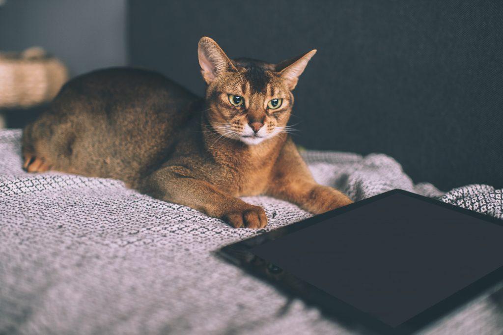 cómo entretener a mi gato en casa con apps
