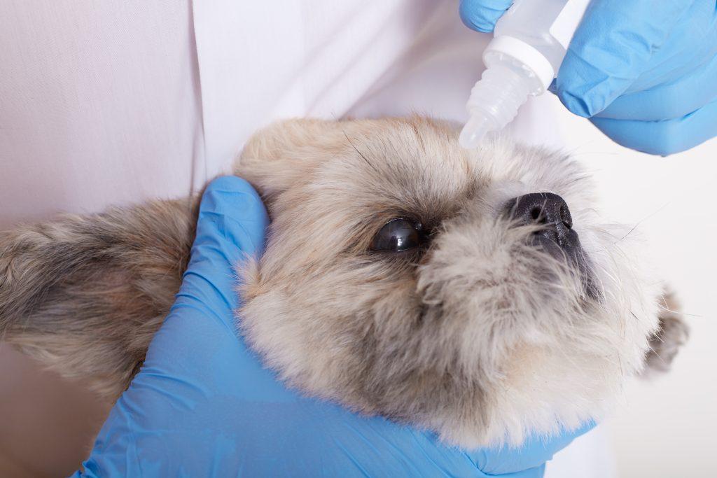 cura del ectropión en perros