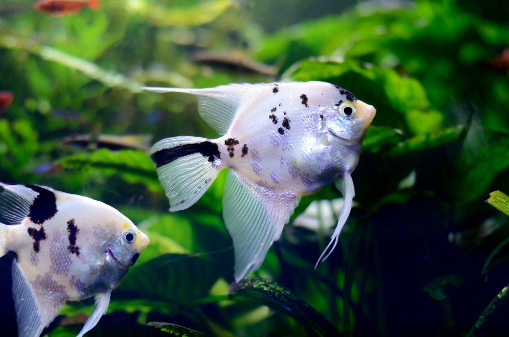 desventajas de tener peces como mascotas