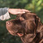 ectropión en perros