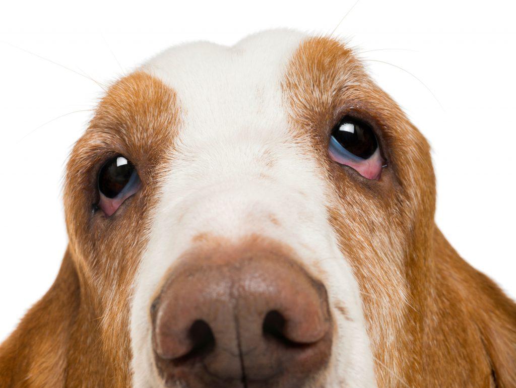 ectropión en perros qué es