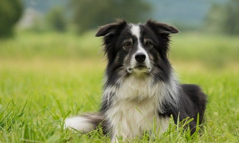 el border collie es el perro más inteligente