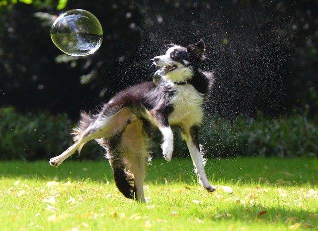 el perro más inteligente es el border collie