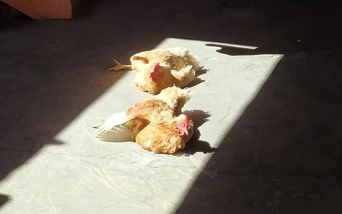 gallinas al sol
