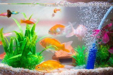 peces como mascotas
