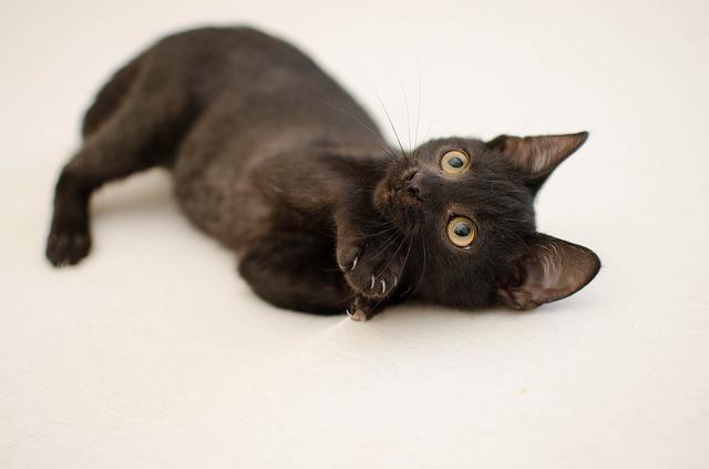 Qué es la enfermedad de Cushing en gatos o síndrome de Cushing en gatos