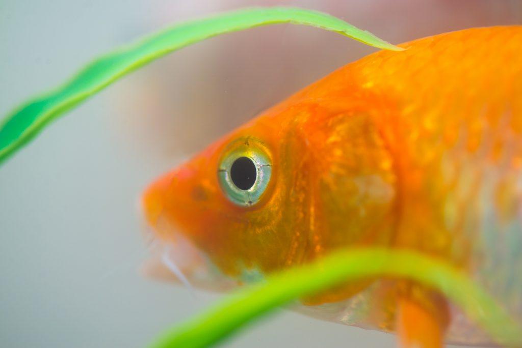 tener peces como mascotas puede aliviar el estrés