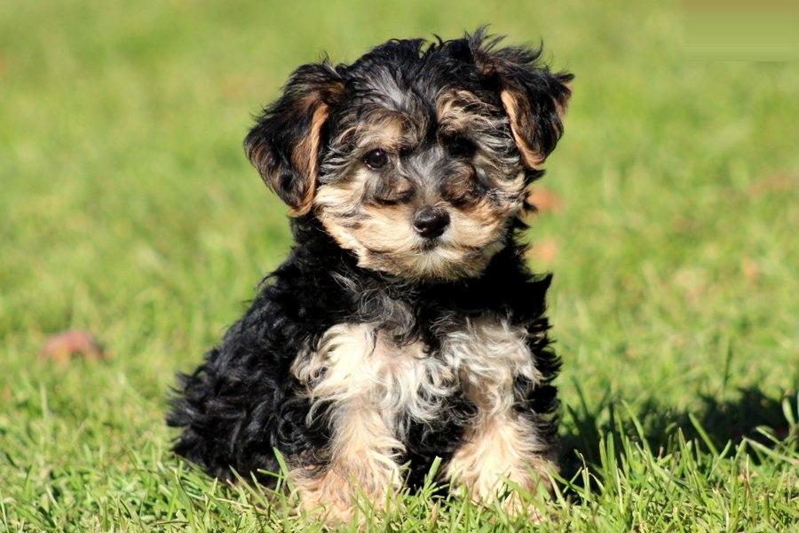 Así es el perro Yorkiepoo o Yorkie Poo