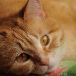 disfunción cognitiva en gatos