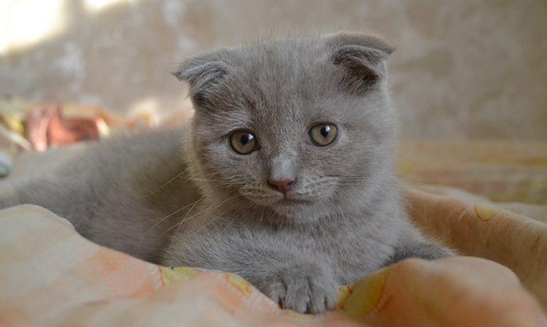 el gato de orejas caídas