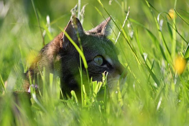 el instinto de caza explica por qué los gatos traen animales muertos