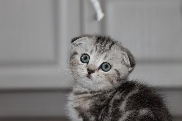 gato de orejas caídas o Scottish fold
