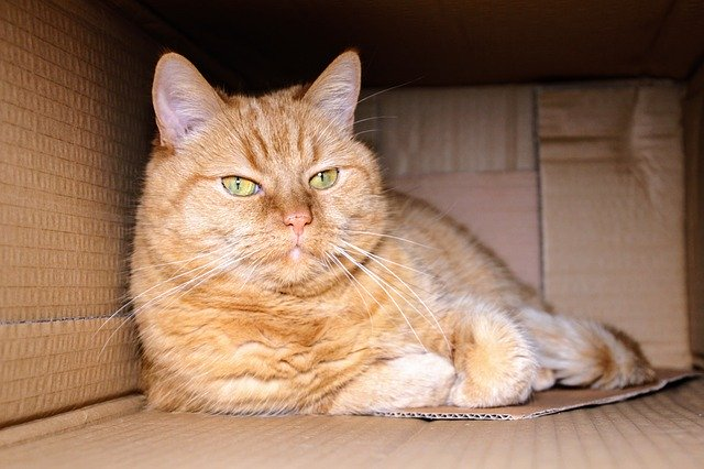 Las respuestas a por qué a mi gato le gustan las cajas