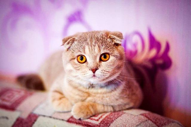 los problemas del gato de orejas caídas