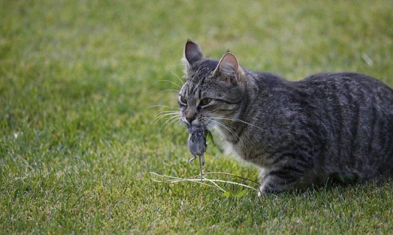 por qué los gatos traen animales muertos a casa
