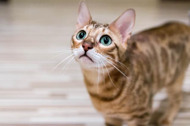 qué es la ansiedad en gatos o ansiedad felina