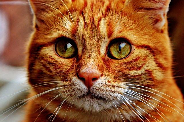 qué es la disfunción cognitiva en gatos