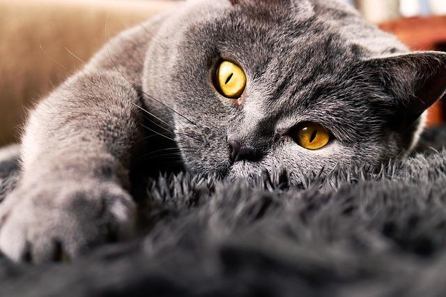 síntomas de la disfunción cognitiva en gatos